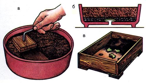 Как посадить бонсай не из семян в домашних условиях 30
