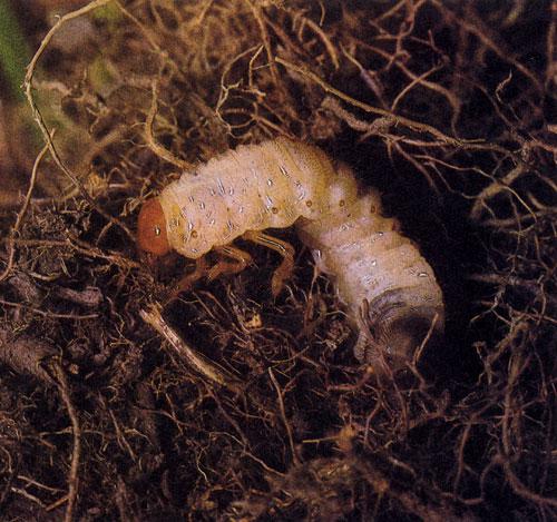 паразиты живущие в волосах на голове людей
