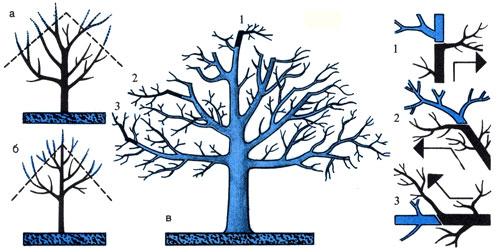 Глубокое омолаживание крон старых деревьев а) угол среза у яблони; 6) у груши; в) яблоня после обрезки. 1 — идущая в сторону веточка на конце укороченной ветви; 2 — небольшая, горизонтально идущая плодоносная веточка на верхней ветви; 3 — более тонкая веточка, наискось идущая в сторону ветки нижней