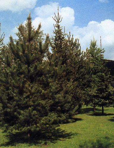 Сажая деревья следует иметь в виду их