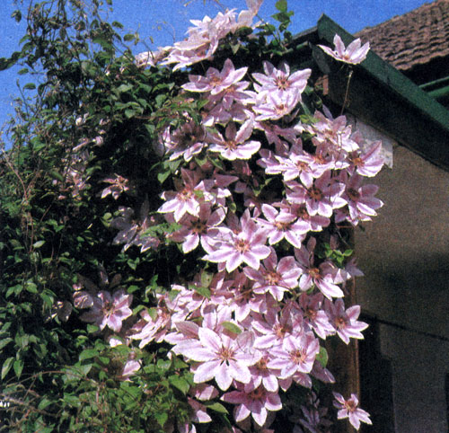 фото вьющихся цветов: