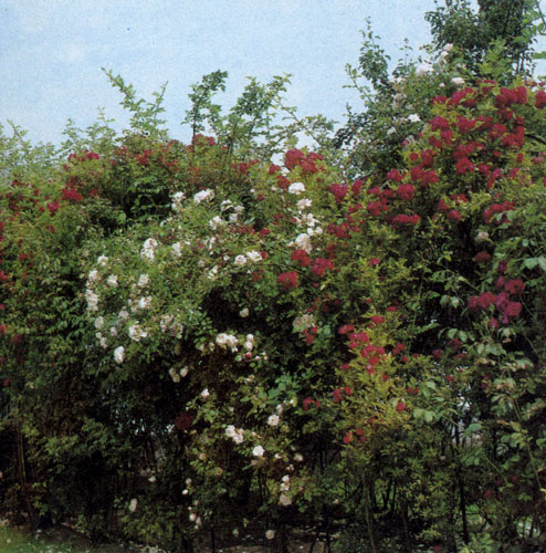 Гибрид чайной розы 'Whisky' достигает в высоту 60 см. Его бронзово-желтые махровые цветы отличаются исключительным ароматом. Вьющаяся роза на нашем снимке использована для создания живой изгороди. Розы двух различных окрасок посажены на определенном расстоянии друг от друга так, чтобы их ветви переплетались. Растения образуют отдельные сравнительно большие плоскости однотонной окраски