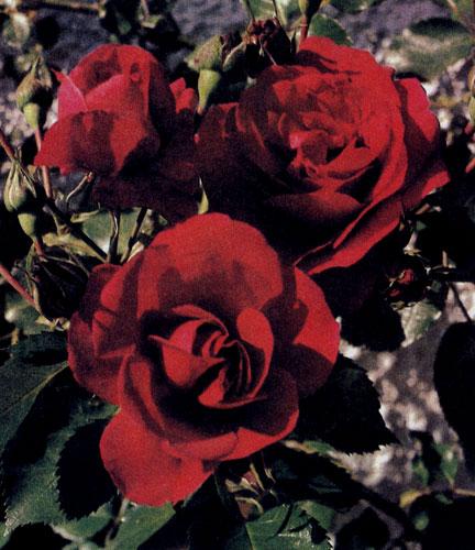 Широки возможности использования вьющейся розы. Если ее прикрепить к опоре, она может быть и одиночным растением
