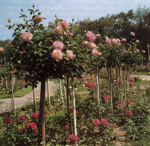 Кроны штамбовых роз формируют путем обрезки, придавая им шарообразную форму. Такие розы лучше сажать на определенном расстоянии друг от друга, чтобы крона каждого растения имела возможность хорошо развиться. Посадки штамбовых роз могут быть дополнены розами кустарниковыми