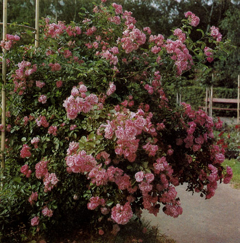 Закреплять вьющиеся розы можно по-разному. Самое простое крепление делают без опоры, связывая побеги соседних растений в форме небольшой арки. Несложно привязать розы к столбикам или вести их по стройным хвойным деревьям. Конструкция из металлических трубок, соединенных наверху, послужит опорой не один год