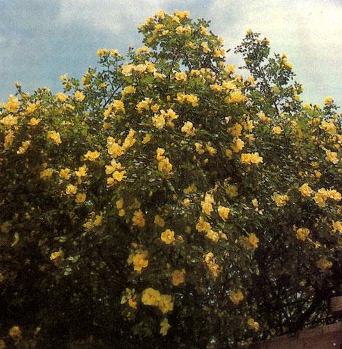 Вьющиеся розы помогут создать стенку, которая разделит сад на части. Обилие цветов, красивая окраска лепестков — все это делает розы непревзойденными по своему великолепию растениями