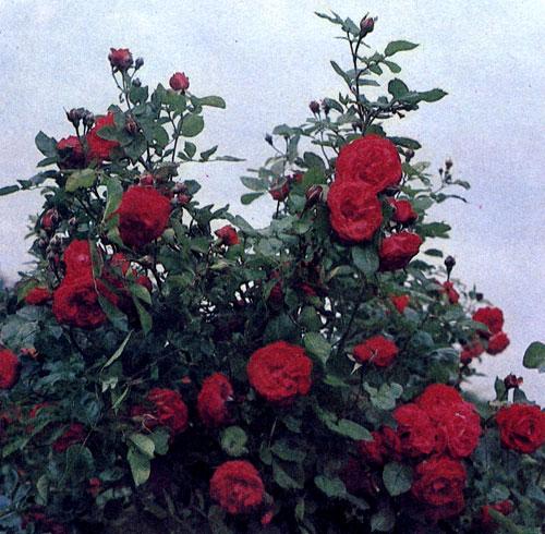Вьющаяся роза 'Danse des Sylphes' с красными полумахровыми цветами, похожими на цветы пеларгонии, достигает 3 м в высоту
