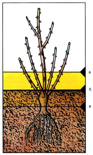 Если роза привита на корневую шейку, то при посадке место прививки должно быть покрыто землей: а) неправильно, б) правильно, в) неправильно