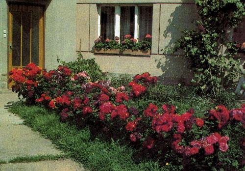 Многоцветковые полиантовые розы успешно используют для выделения значительной по размерам площади, которой хотят придать однотонную окраску. Такая площадка хорошо смотрится у входа в дом или у дороги, ведущей к нему