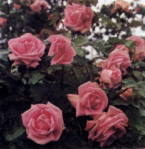 У однотонных цветов розы лепестки одинаково окрашены как с лицевой, так и с оборотной.стороны. Когда цветок стареет, интенсивность его окраски утрачивается