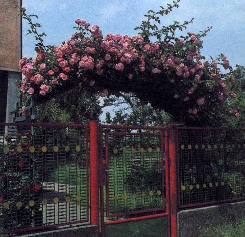 Вьющаяся роза украшает вход в сад