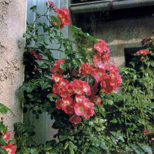 Линии здания можно продолжить с помощью пергол и стенок из вьющихся роз. Это особенно целесообразно там, где к дому примыкает терраса