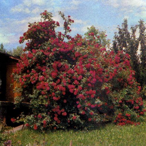 Розы образуют достаточно густые кулисы и создают на террасе обстановку уединения. В данном случае они выступают и как доминанта этой части сада