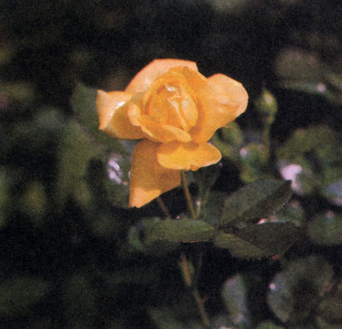 'Allgold' — роза флорибунда с большими махровыми цветами золотисто-желтой окраски. Достигает 40—60 см в высоту