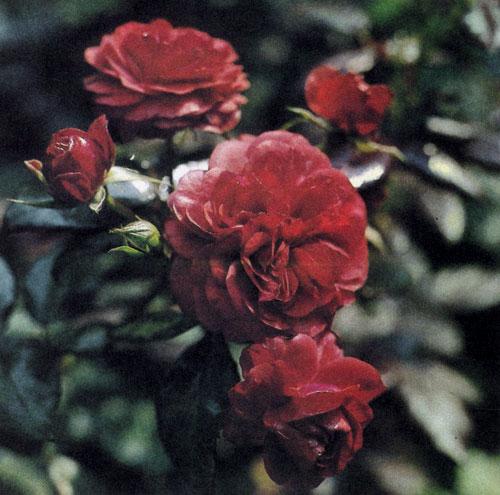 Роза флорибунда 'Europeana' отличается махровыми цветами, собранными в зонтичные соцветия, и сильным ароматом. Окраска цветов — яркая, кроваво-красная. Растение достигает 50—80 см в высоту и образует развесистые кусты