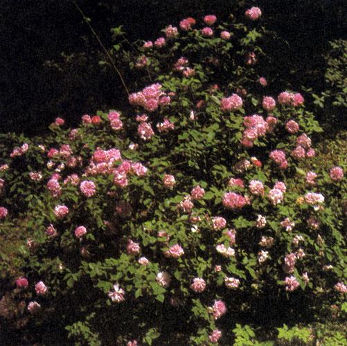 Розе необходимо создать условия для роста, другие растения не должны ее теснить. Нельзя допустить, чтобы возникло впечатление, будто она — всего лишь дополнение к чему-то иному в саду