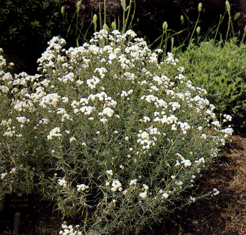 Цветы белые многолетники