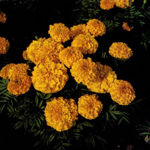 Наиболее стойкие из них цветут непрерывно всё лето.  Поделитесь своими знаниями об однолетниках.  Ведь какие то из...