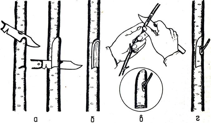 Картинки по запросу Размножение окулировкой фундука