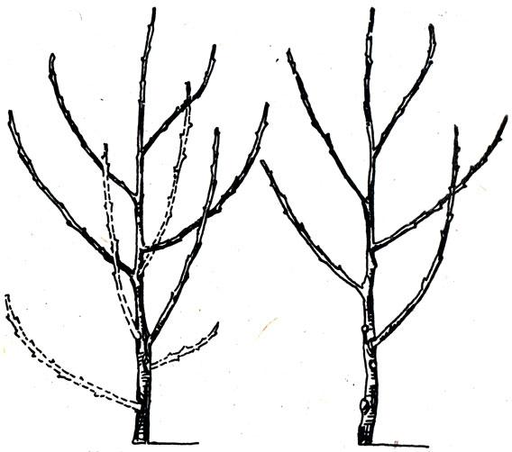 Персик воронежский кустовой как сажать 58