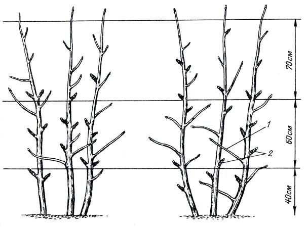 Выращивание смородины штамбовым способом 44